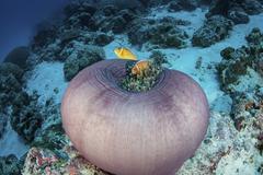 Pink anemonefish swim close to their host anemone. Stock Photos