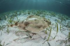 An electric ray on the seafloor of Turneffe Atoll off the coast of Belize Stock Photos
