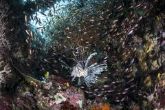 A lionfish hunts for prey on a colorful coral reef. Stock Photos