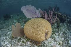 Brain coral and gorgonians grow off Turneffe Atoll in Belize. - stock photo