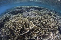 Foliose corals grow in Komodo National Park, Indonesia. Stock Photos