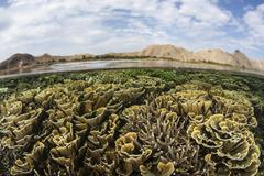 Fragile corals grow in shallow water in Komodo National Park. - stock photo