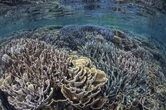 Fragile corals grow in shallow water in Komodo National Park. Stock Photos