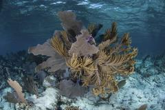 Colorful gorgonians grow in off Turneffe Atoll in Belize. Stock Photos