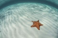 A West Indian starfish on the seafloor in Turneffe Atoll, Belize. Stock Photos