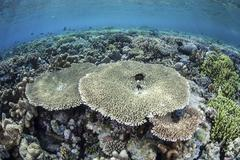 A diverse array of corals grow in Raja Ampat, Indonesia. Stock Photos