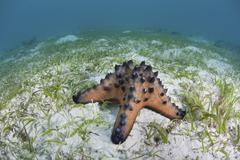 A colorful chocolate chip sea star on the seafloor of Indonesia. Stock Photos