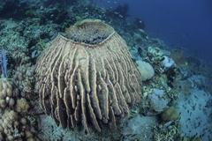 A massive barrel sponge grows on a reef near Alor, Indonesia. Stock Photos