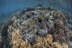 A massive giant clam grows in Raja Ampat, Indonesia. Stock Photos