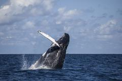 A large humpback whale breaches out of the Atlantic Ocean. - stock photo