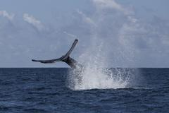 A humpback whale slaps its tail on the surface of the Atlantic Ocean. - stock photo