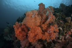 Vibrant soft corals thrive on a deep reef in Indonesia. Stock Photos