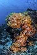 A beautiful cluster of soft coral on a coral reef in Indonesia. - stock photo