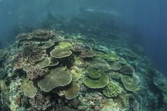 Healthy reef-building corals thrive in Komodo National Park, Indonesia. - stock photo