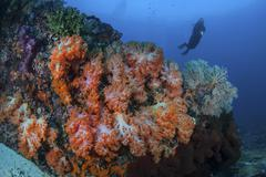 A beautiful cluster of soft coral colonies on a reef in Indonesia. - stock photo