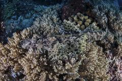 A well-camouflaged Crocodilefish lies on a coral reef in Indonesia. - stock photo