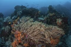 A strong current sweeps across a reef slope in Indonesia. Stock Photos