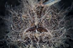 Front view of a hairy frogfish. - stock photo