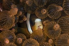 A Clark's anemonefish nuggles into the tentacles of its host anemone. - stock photo