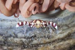 A harlequin swimming crab sits on its host tube anemone Stock Photos