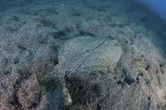 A flounder blends into its reef surroundings. Stock Photos