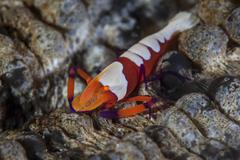A colorful emperor shrimp sits atop a sea cucumber. Stock Photos