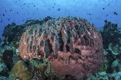 A massive barrel sponge grows on a healthy coral reef. Stock Photos