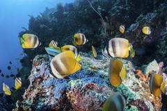 Klein's butterflyfish swim over a reef near Sulawesi, Indonesia. Stock Photos