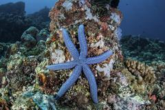 An unusual sea star clings to a diverse reef near the island of Bangka. Stock Photos