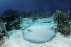 A roughtail stingray rests on the seafloor near Turneffe Atoll. - stock photo