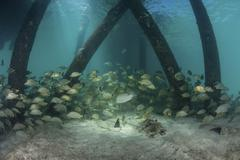 School of grunt fish beneath a pier on Turneffe Atoll, Belize. - stock photo