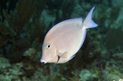 Blue Tang on caribbean reef. Stock Photos