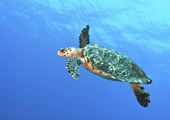 Hawksbill Turtle swimming in midwater in Caribbean Sea, Mexico. - stock photo