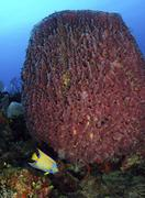 A large barrel sponge with Queen Angelfish on Caribbean reef. Stock Photos
