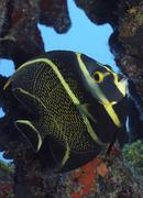 Juvenile French Angelfish in the Caribbean. - stock photo