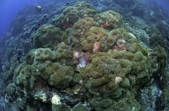 Carpet of green anemone, Christmas Island, Australia. Stock Photos