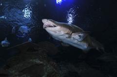 Sand Tiger Shark, Blue Zoo Aquarium, Beijing, China. Stock Photos
