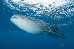 Whale shark, Ari and Male Atoll, Maldives. Stock Photos