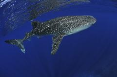 Whale shark near surface with sun rays. Stock Photos