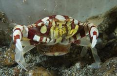 Red and white harlequin crab releasing its eggs, Indonesia. - stock photo