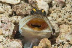 Gold-specs Jawfish in its hole with mouth open, Philippines. - stock photo