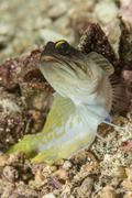 Gold-specs jawfish, Anilao, Philippines. - stock photo
