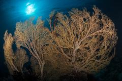 Large yellow brown gorgonian sea fan profiled against sunburst. Stock Photos