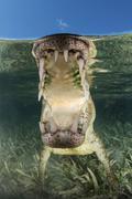 American saltwater crocodile in mangrove off of Cuba. Stock Photos