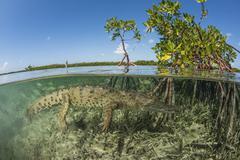 American saltwater crocodile swimming in mangrove off of Cuba. Stock Photos