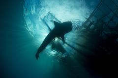 Whale shark swimming up to the surface, silhouetted against sunrays. Stock Photos