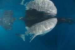 Whale shark with remora, its body reflected on the surface. Stock Photos