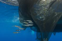 Group of squids in formation near fishing net. - stock photo