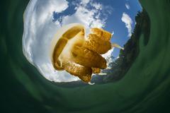 Golden jellyfish in Kakaban Lake, Indonesia. Kuvituskuvat