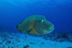 Large Napoleon wrasse in blue water, Palau, Micronesia. Stock Photos